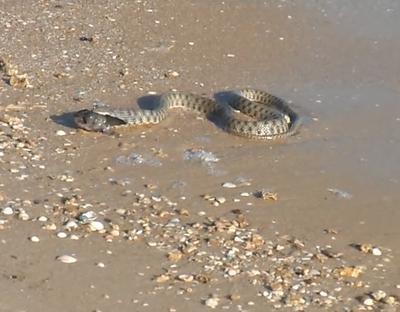 змея на азовском море