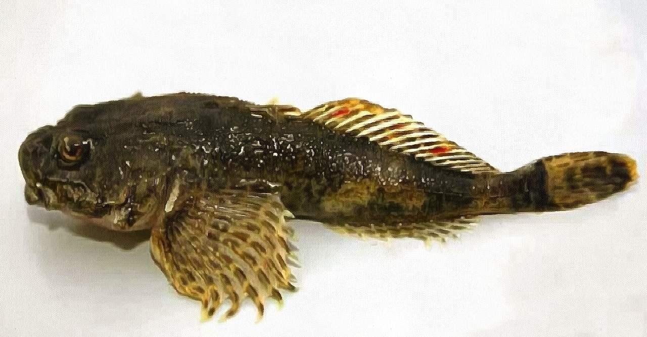 Бычок. Азовское море. Рыба.