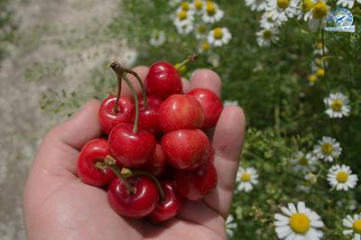 Начался сезон 2017 вкусной, сладкой черешни на побережье Азовского моря.