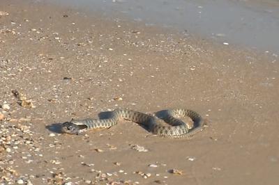 Азовское море змея