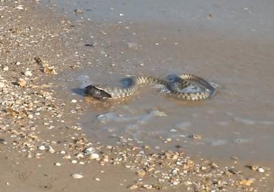 змея азовское море